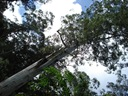 The grandest tallest tree in NSW